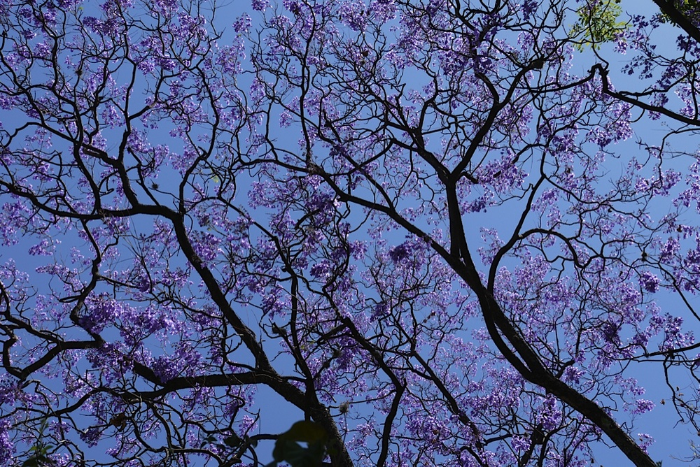 """At the time, these trees were blooming in both Mexico City and San Miguel. They were so great and wiry looking, with gorgeous purple blossoms. They looked like something out of a Dr Seuss book."""