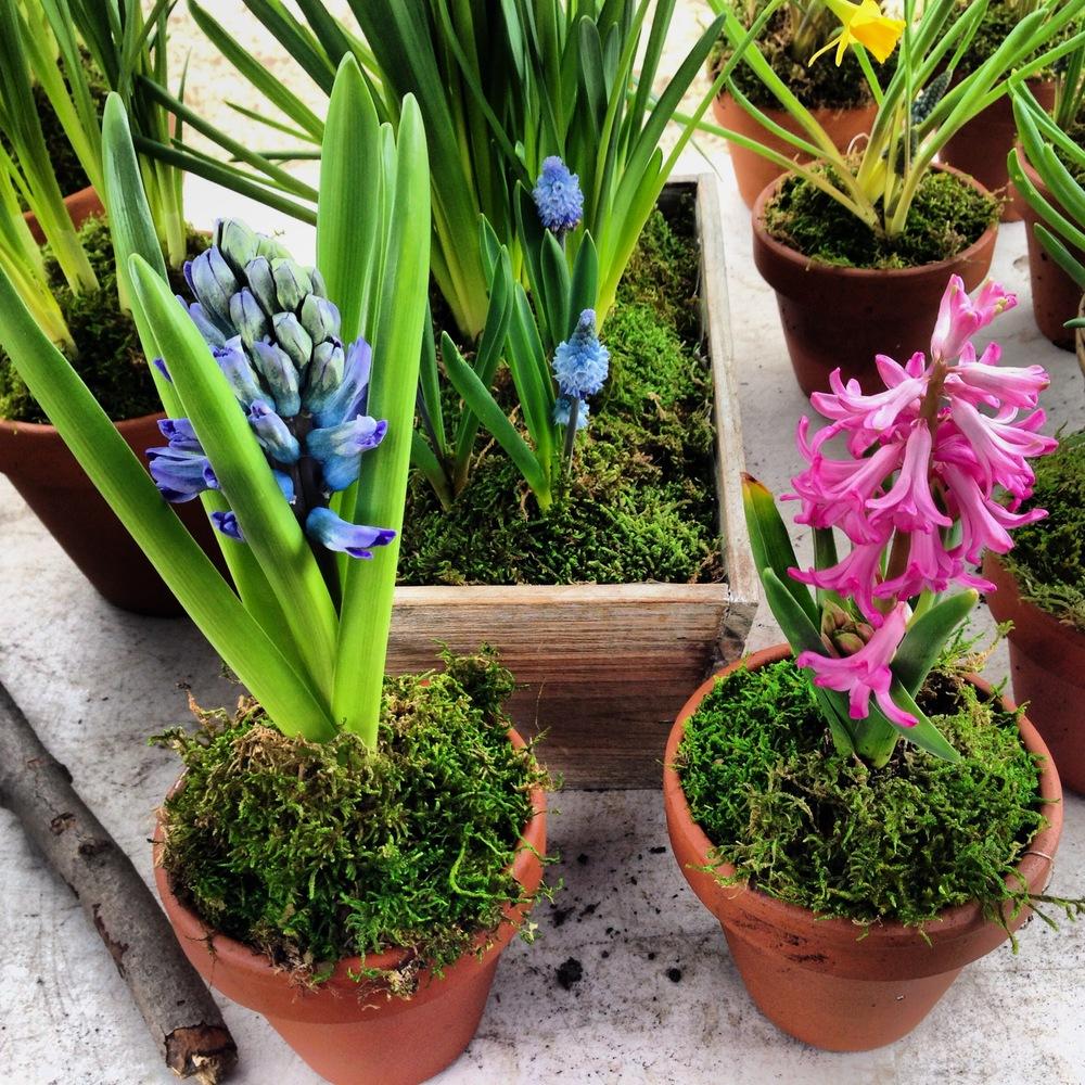 Farmer's Market Hyacinths