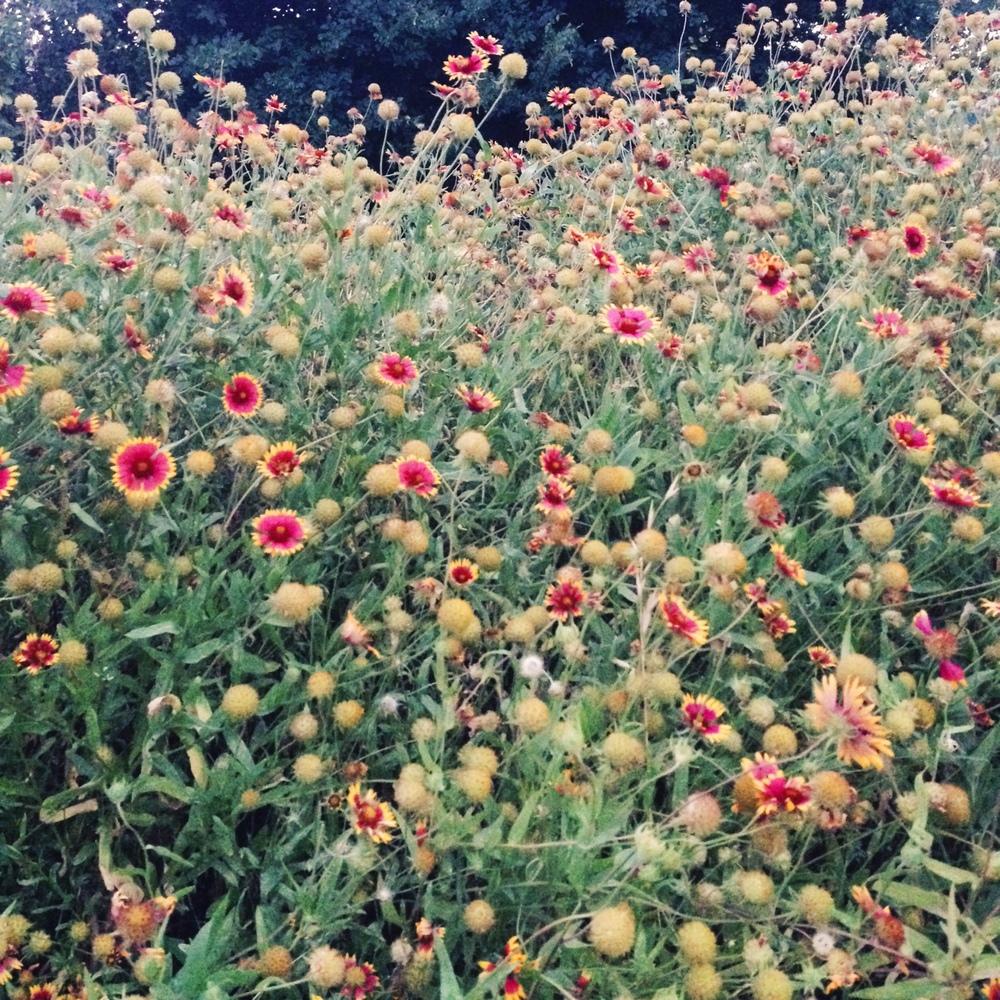 Austin wildflowers