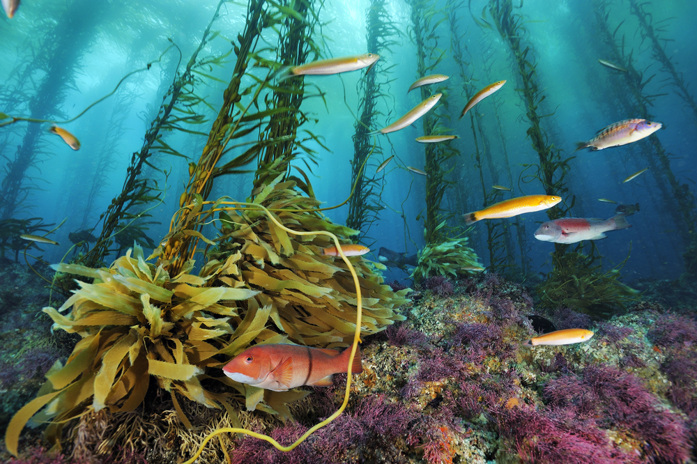 BrianSkerry_KelpForests