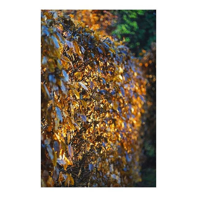 A final autumn salute before we descend into winter . . . #autumn #winter #igdaily #igersgermany #gold #leaves #garden #embracethecold #lightbro #sun #yellow #nature #germanroamers #melancholy #abstract