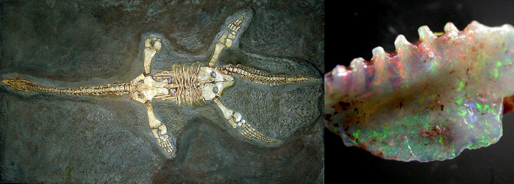 An example of a Fossil Opal, a 6 meter long Addyman Plesiosaur which was found in 1968. The Addyman Plesiosaur was not a dinosaur but rather a prehistoric reptile that swam the cool seas of the Early Cretaceous period, some 66-79 million years ago. Andamooka, Southern Australia was a cool-water inland sea at that time, and it is thought that these rich seas had large blooms of plankton and all of the sea life that would have fed on them there, making it an ideal place for the Addyman Plesiosaur to hunt in. The fact that this fossil was preserved by rock is amazing, not to mention that it has been opalized by the specific conditions of its preservation. This fossil is housed at the South Australian Museum, Adelaide, South Australia.