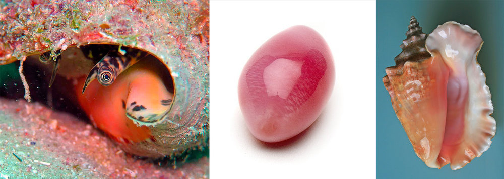 Left: The Queen Conch snail's eye peeking out of it's shell. Center: An absolutely gorgeous example of a conch pearl with bi-lateral fire striping. Right: A familiar conch shell, commonly sold to tourists throughout the caribbean