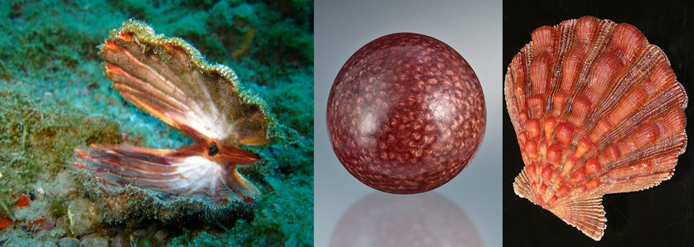Left: Scallops are the only bivalvia group that typically swim from one place to another. Center: The Scallop pearl with its scalloped nacre in a deep maroon. Right: The Lion's Paw Scallop's shell has thick sculptural waves along the top of it's shells.