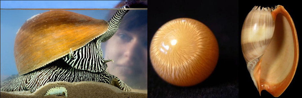 Left: The amazing stripes of the Zebra Melo Melo Sea Snail. Center: The striped fire in the nacre of the Melo pearl. Right: The shell of the Melo Melo.