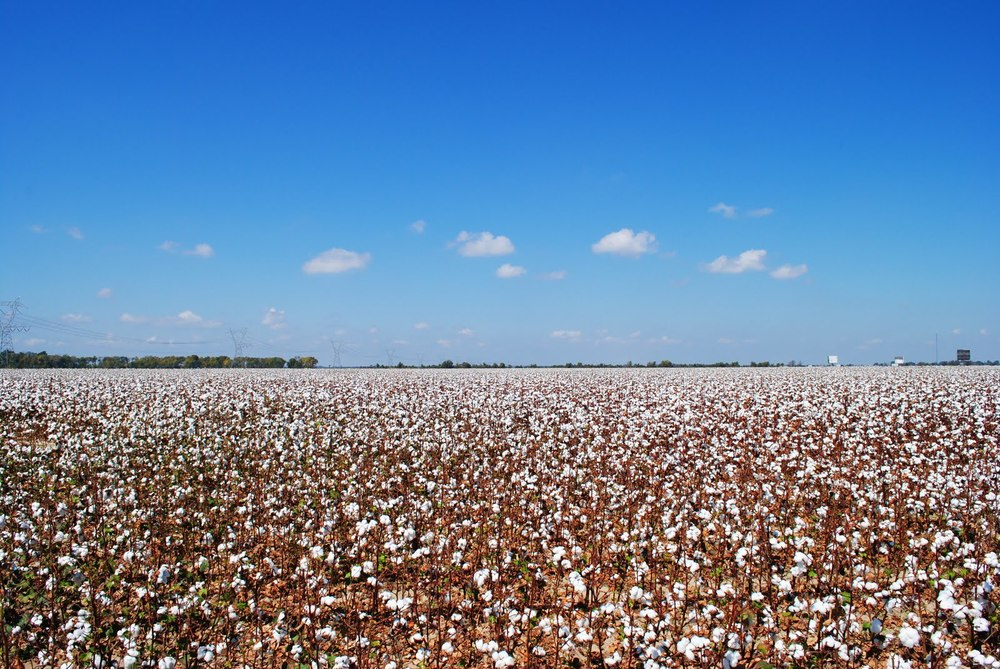 cotton-field.jpg