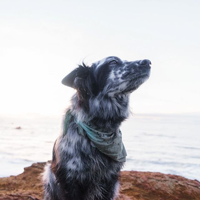 Huxley the dog looking up at @brooke_weeber on the Oregon Coast. • • • • • #dogoftheday #doglover #petstagram #pets #petsofinstagram #dogs_of_instagram #animal #pup #animals #instapet #dogsofig #doglife #doglovers #instagramdogs #weeklyfluff  #lovedogs #bestwoof #dogsofinstaworld