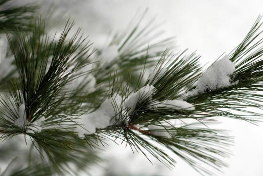 EVERGREEN_BRANCH_WITH_SNOW.jpg