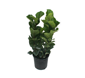 Lyrata Bush Fiddle-leaf Fig.jpg