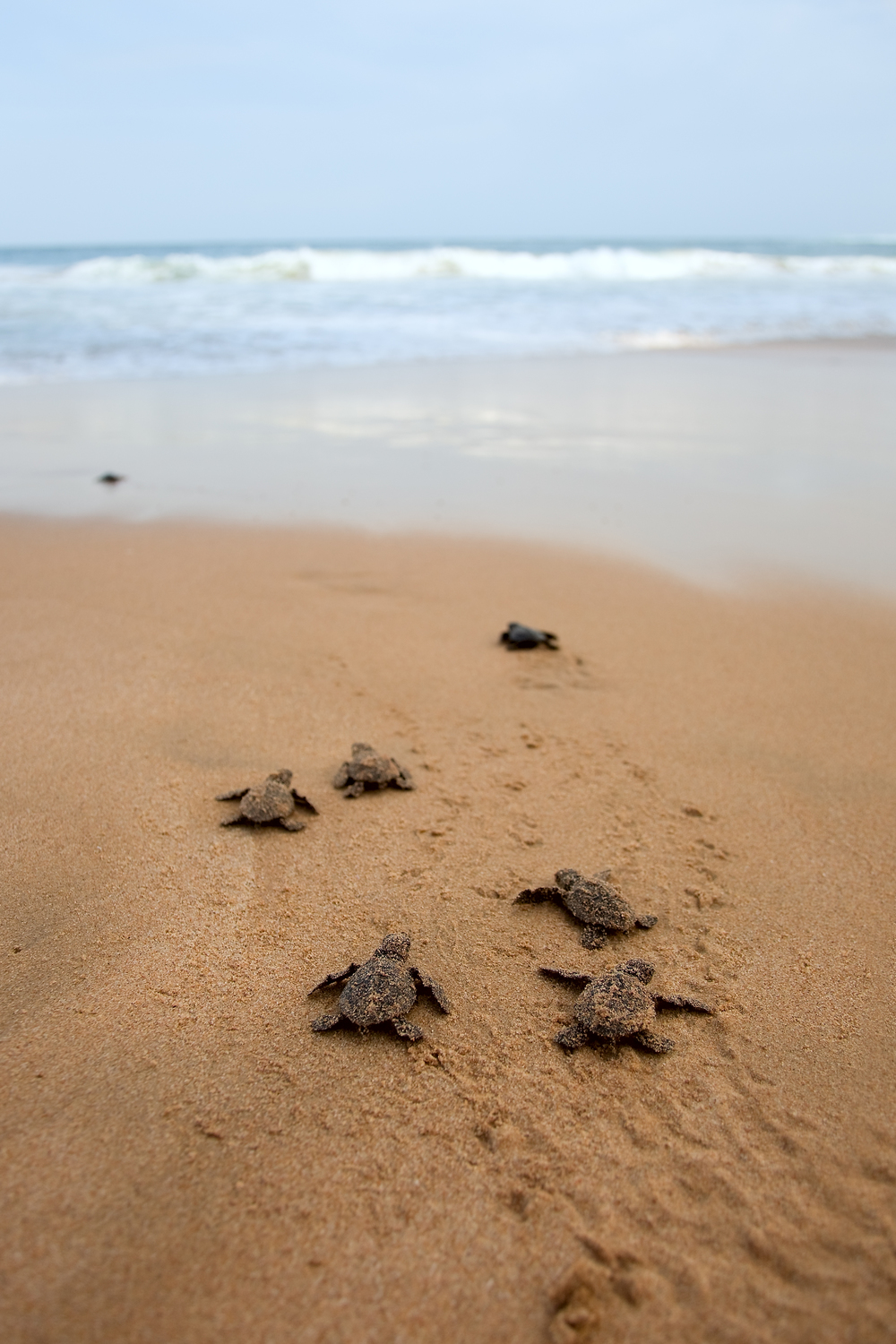 invite-to-paradise-sri-lanka-holidays-honeymoons-specialists-wildlife-baby-sea-turtle-hatchery-visit-habaraduwa-kosgoda-6.jpg