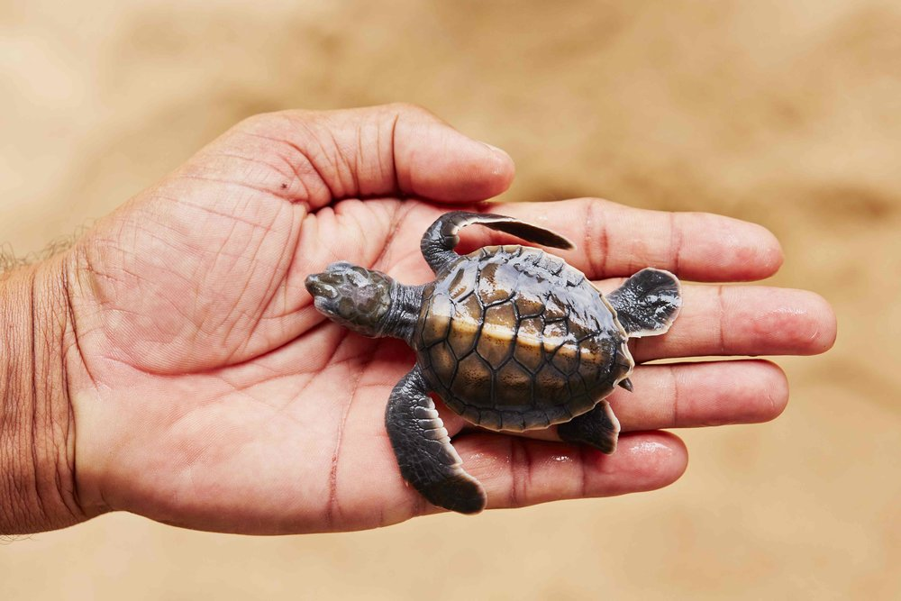 invite-to-paradise-sri-lanka-family-holidays-specialists-wildlife-baby-sea-turtle-hatchery-visit-habaraduwa-kosgoda.jpg