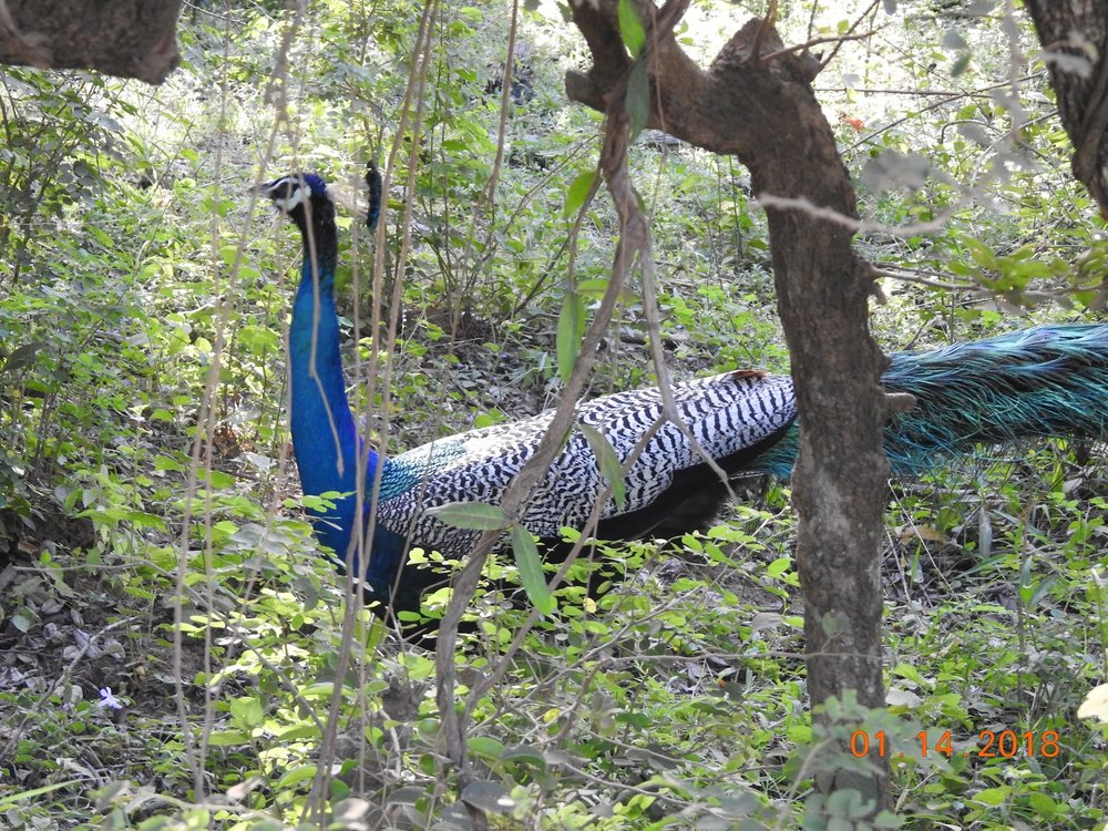 invite-to-paradise-sri-lanka-maldives-holiday-specialists-nutan-vidyut-patel-peacock-2.jpg