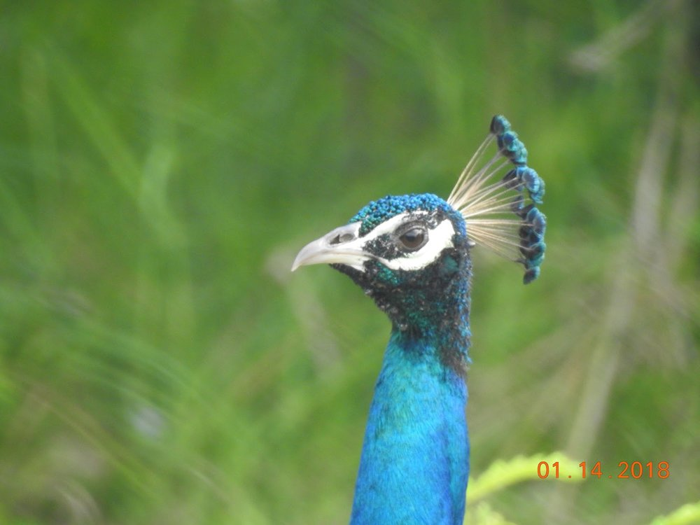 invite-to-paradise-sri-lanka-maldives-holiday-specialists-nutan-vidyut-patel-peacock.jpg