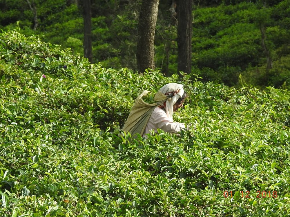 invite-to-paradise-sri-lanka-maldives-holiday-specialists-nutan-vidyut-patel-tea-picker.jpg