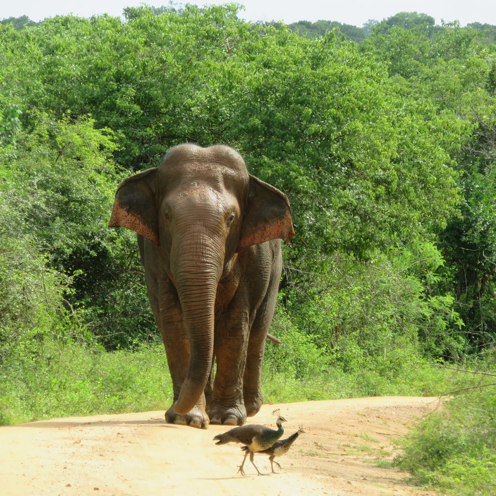 invite-to-paradise-sri-lanka-specialists-thomas-family-holiday-tour-elephant-bull-yala-safari.JPG