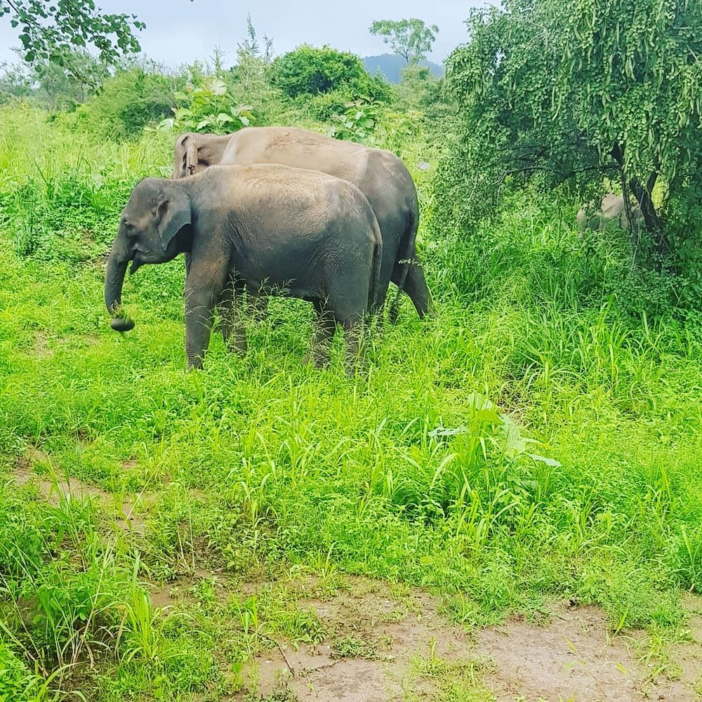 invite-to-paradise-sri-lanka-honeymoon-specialists-customer-guest-feedback-Paul-Traies-Chloe-Rowley-wildlife-safari-minneriya-wild-elephants-gathering.jpg