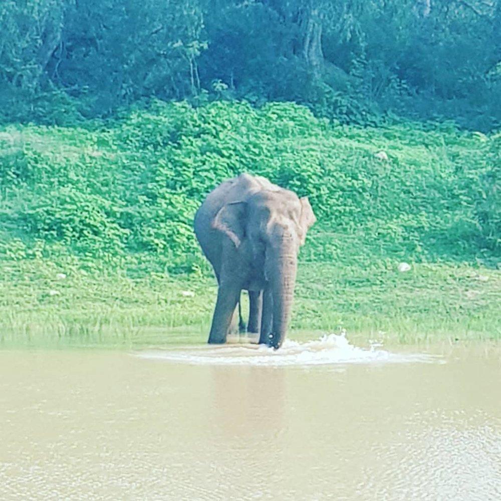 invite-to-paradise-sri-lanka-honeymoon-specialists-customer-guest-feedback-Paul-Traies-Chloe-Rowley-yala-cinnamon-wild-elephant.jpg