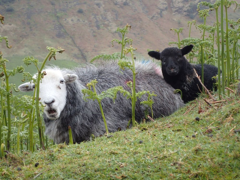 A Herdwick ewe and lamb in the Langdale valley. Photo credit: Val Kozlov
