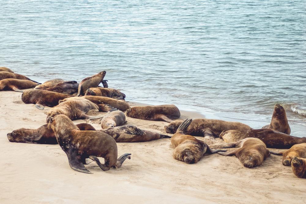 Sea lions |  Beatrice Murch |  License  | Minor modifications made