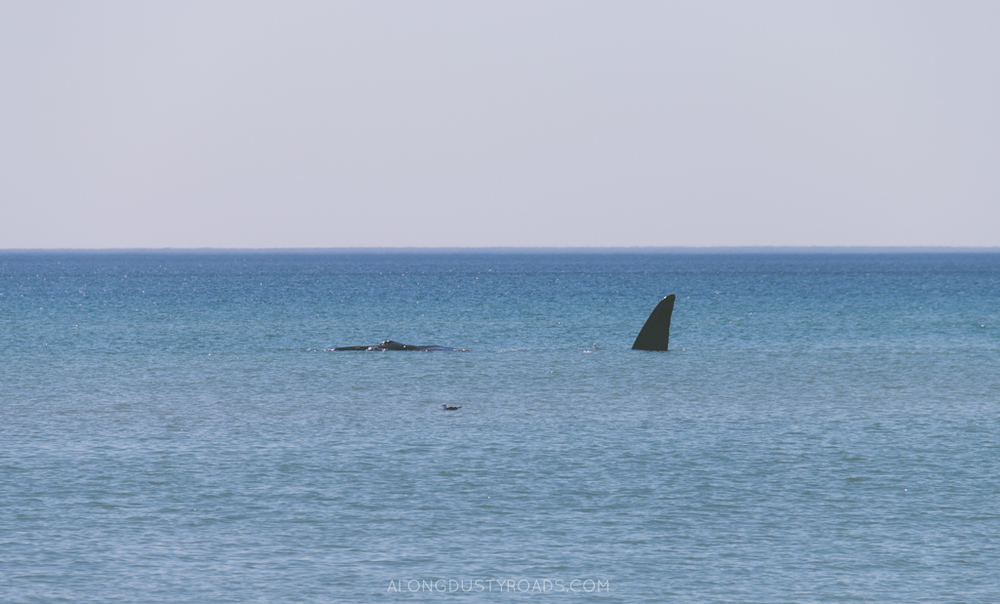 Whale watching at Playa Doradillo, Puerto Madryn, Argentina