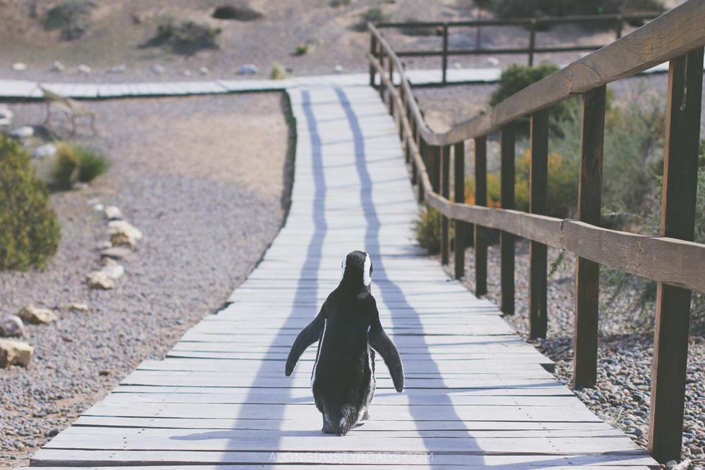 Penguin at Punta Tombo, Argentina