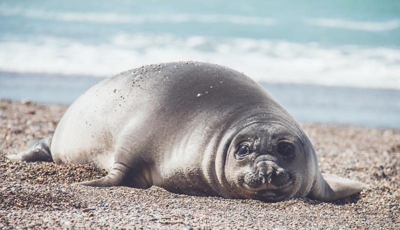 Elephant seal at Isla Escondida, outside Puerto Madryn, Argentina