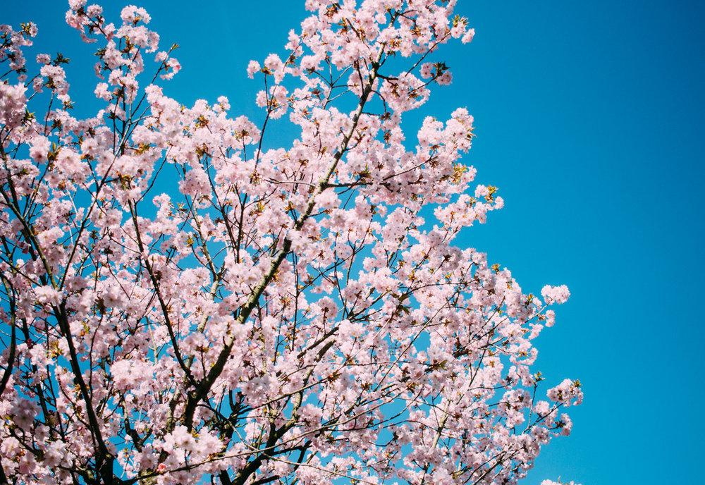 Cherry Blossom in Düsseldorf, Germany