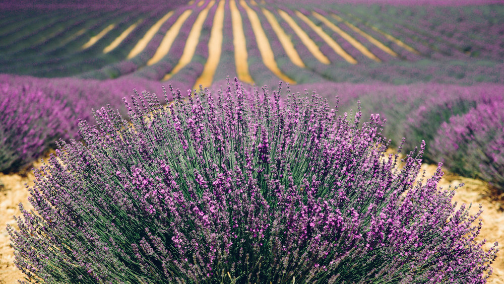 lavender-894919.jpg