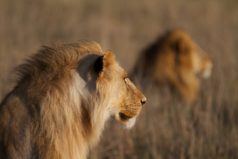 lions 9.jpg
