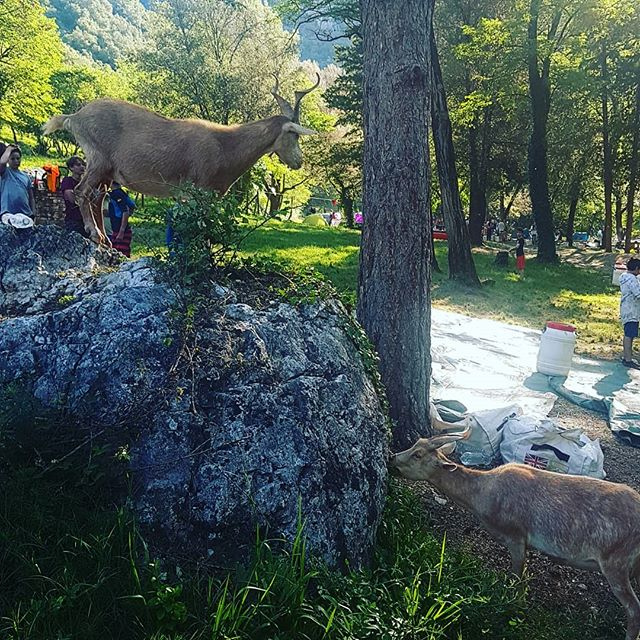 Wild goats on the bivouac this morning #GorgesDeL'ardeche #Ardeche #Canoeingholiday #T_O_E #DreamTeam #ddhammocks #MadRiver #Lomo #PalmInternational