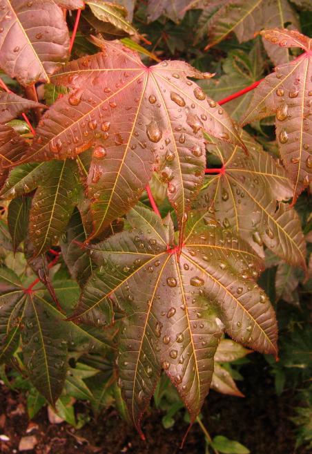 Acer campbellii v. campbellii GWJ9360