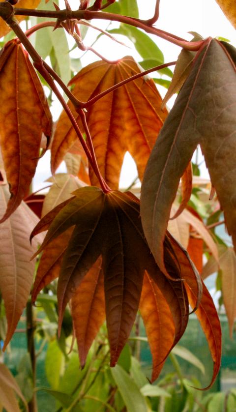 Acer heptaphlebium BSWJ11695