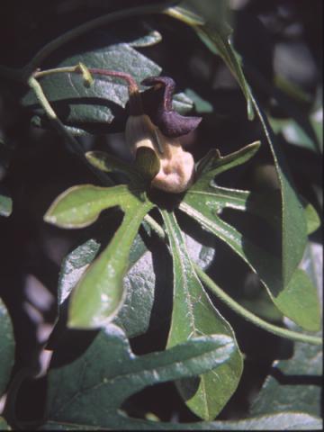 Aristolochia cucurbitifolia BSWJ7043