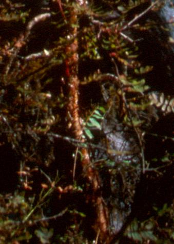 Betula utilis HWJK2250 ii