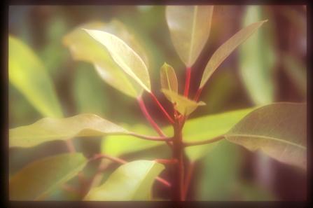Daphniphyllum oldhamii BSWJ6872