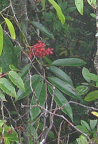 Magnolia floribunda v tonkinensis WWJ12003