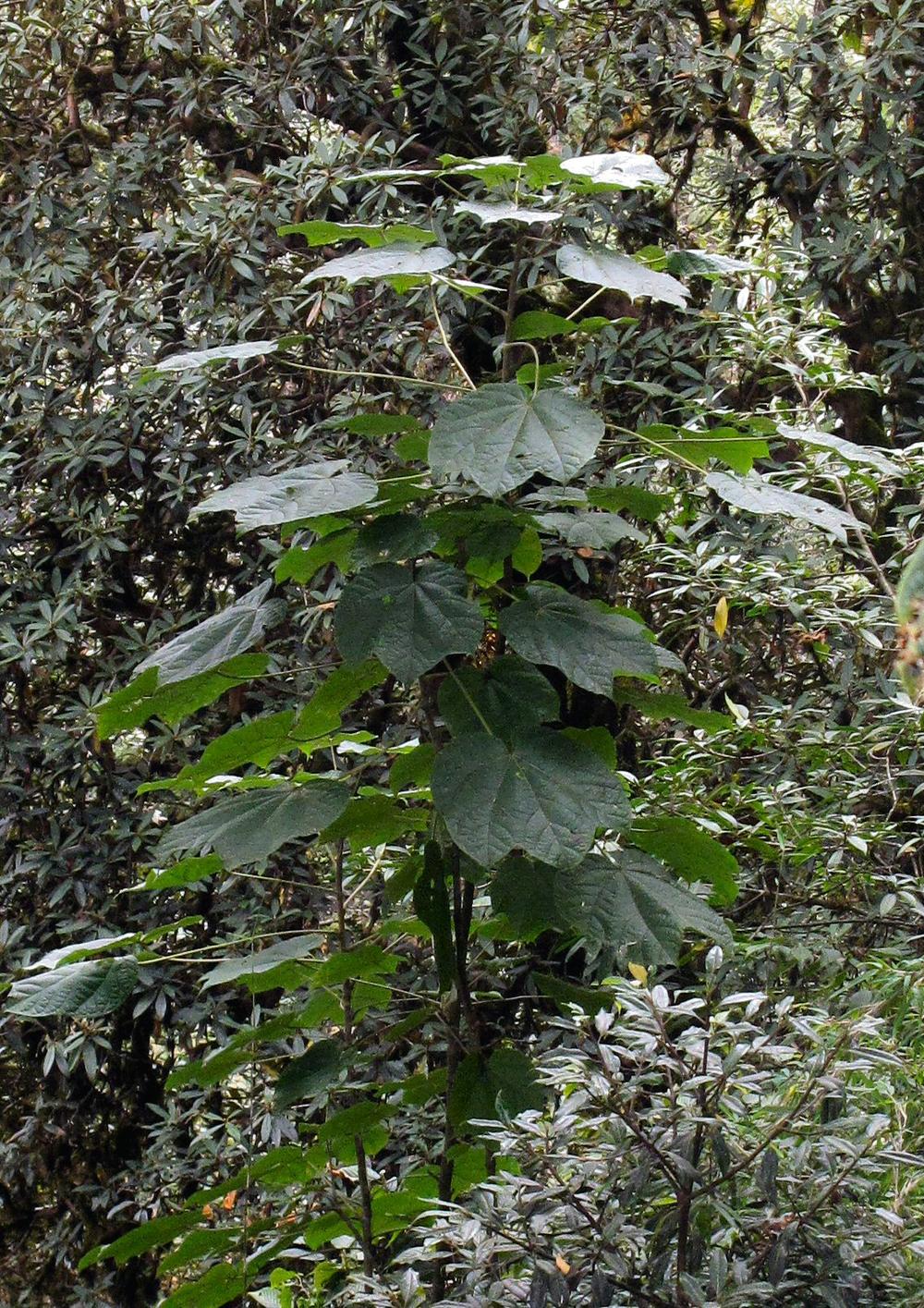Merrilliopanax alpinus GWJ9355