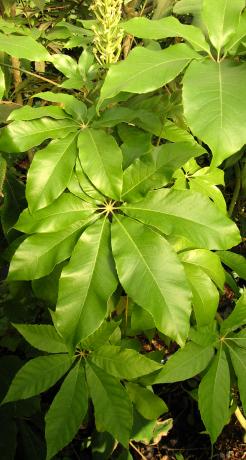 Oreopanax xalapensis BSWJ10444