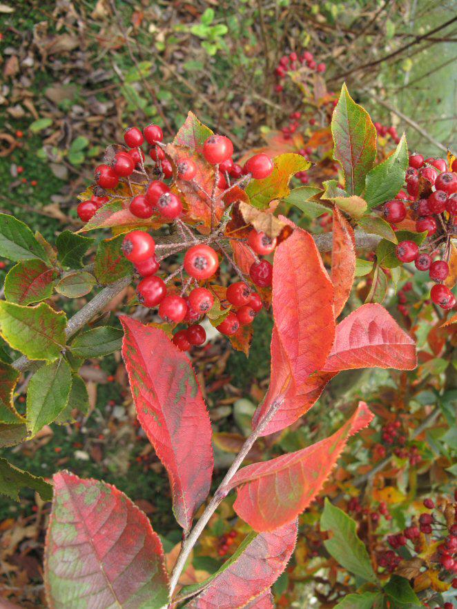 Photinia villosa v. coreana BSWJ8789