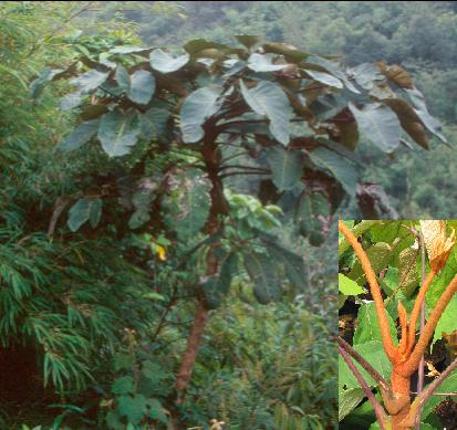 Schefflera petelotii BSWJ9788