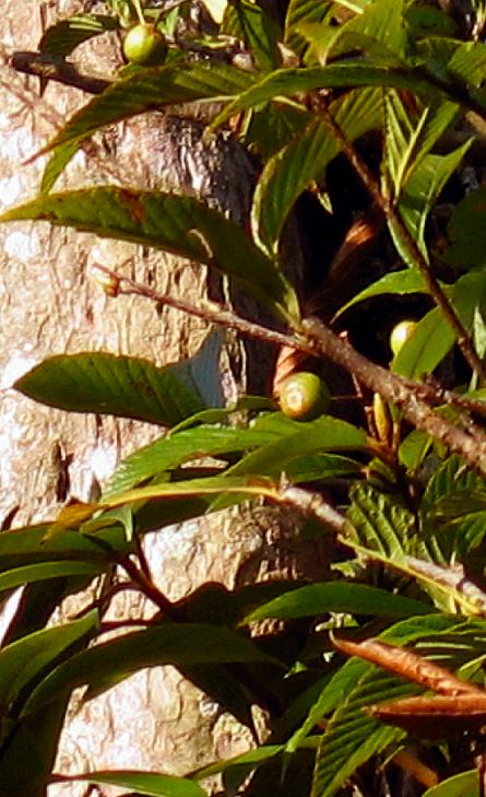 Sorbus brevipetiolata BSWJ11771