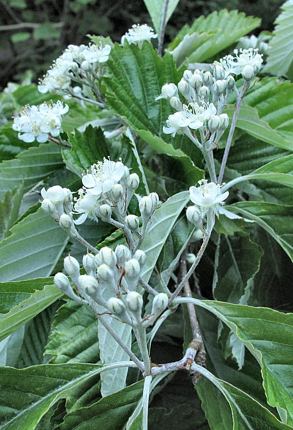 Sorbus japonica BSWJ11048