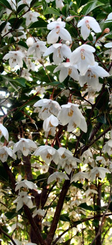 Styrax japonica BSWJ8770