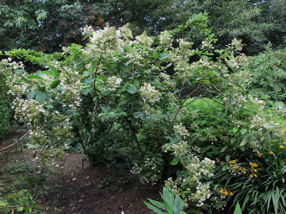 Chelsea choice / Hydrangea paniculata