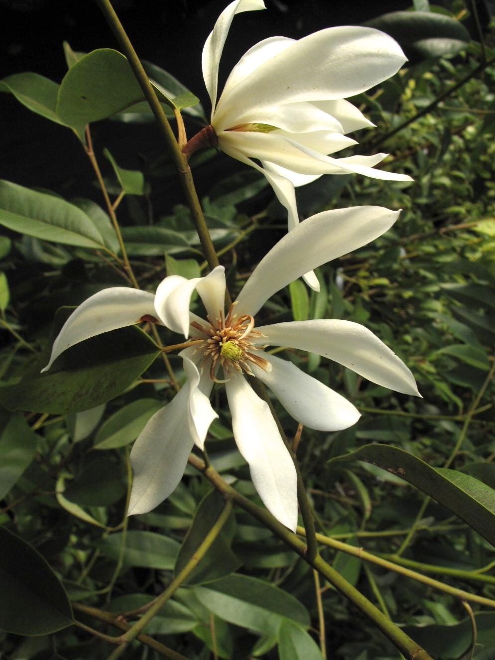 Magnolia floribunda v. tonkinensis WWJ12003