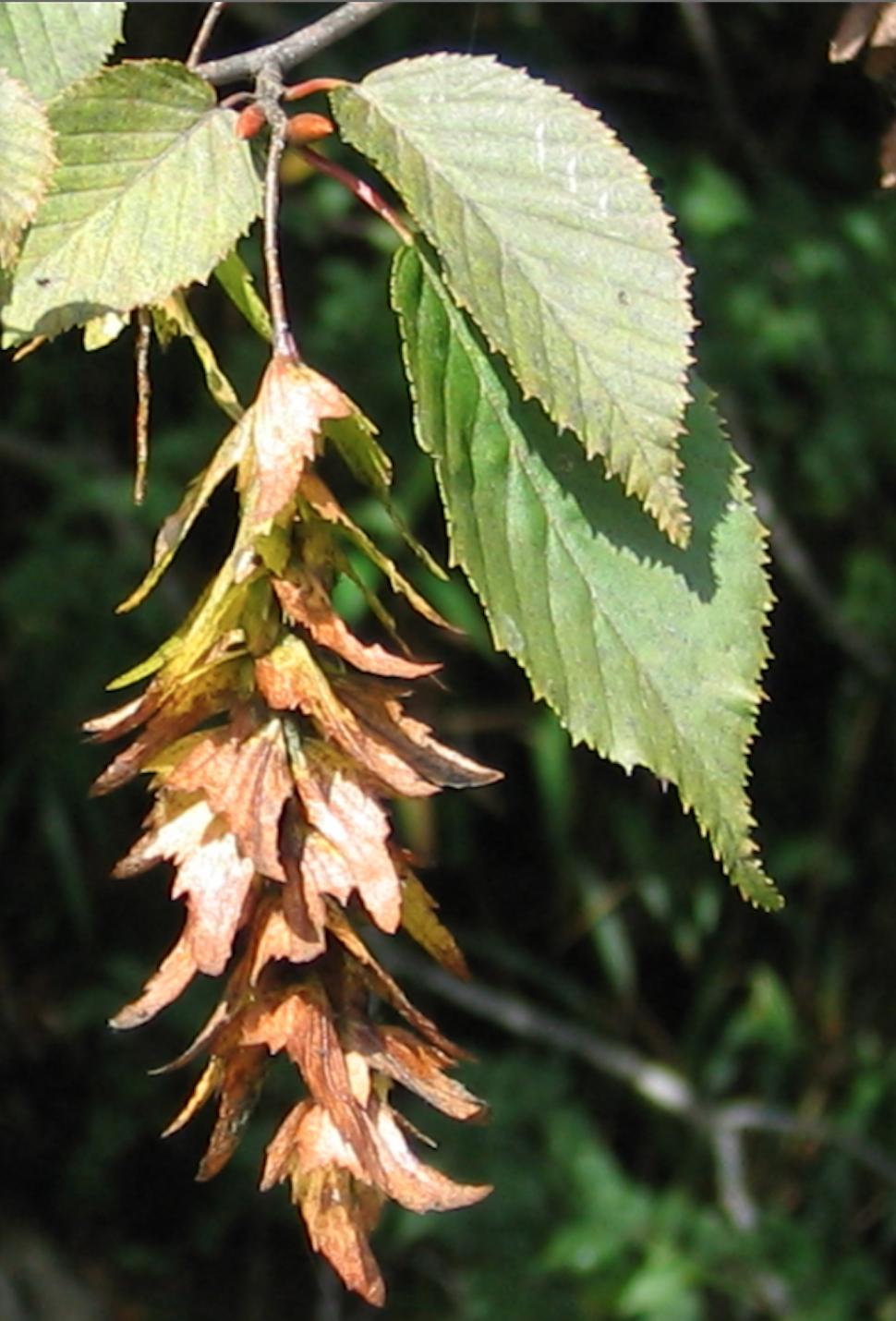 Carpinus laxiflora BSWJ10809