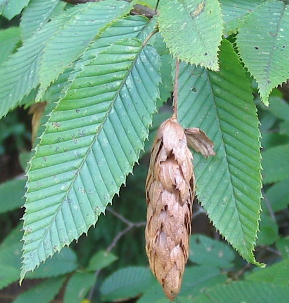 Carpinus japonica UA BSWJ11072