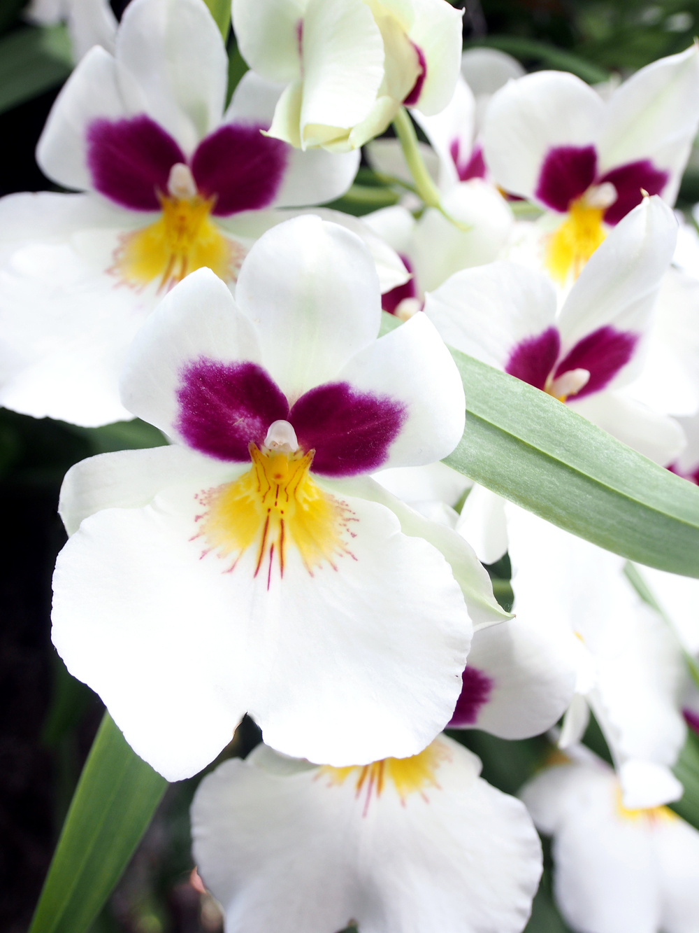 Detail of these tinier white, yellow & magenta orchids.