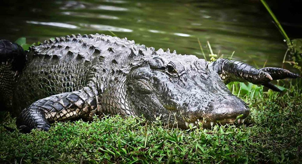 Naples_Alligators_IMG_9589_1_9x13.75_1.JPG