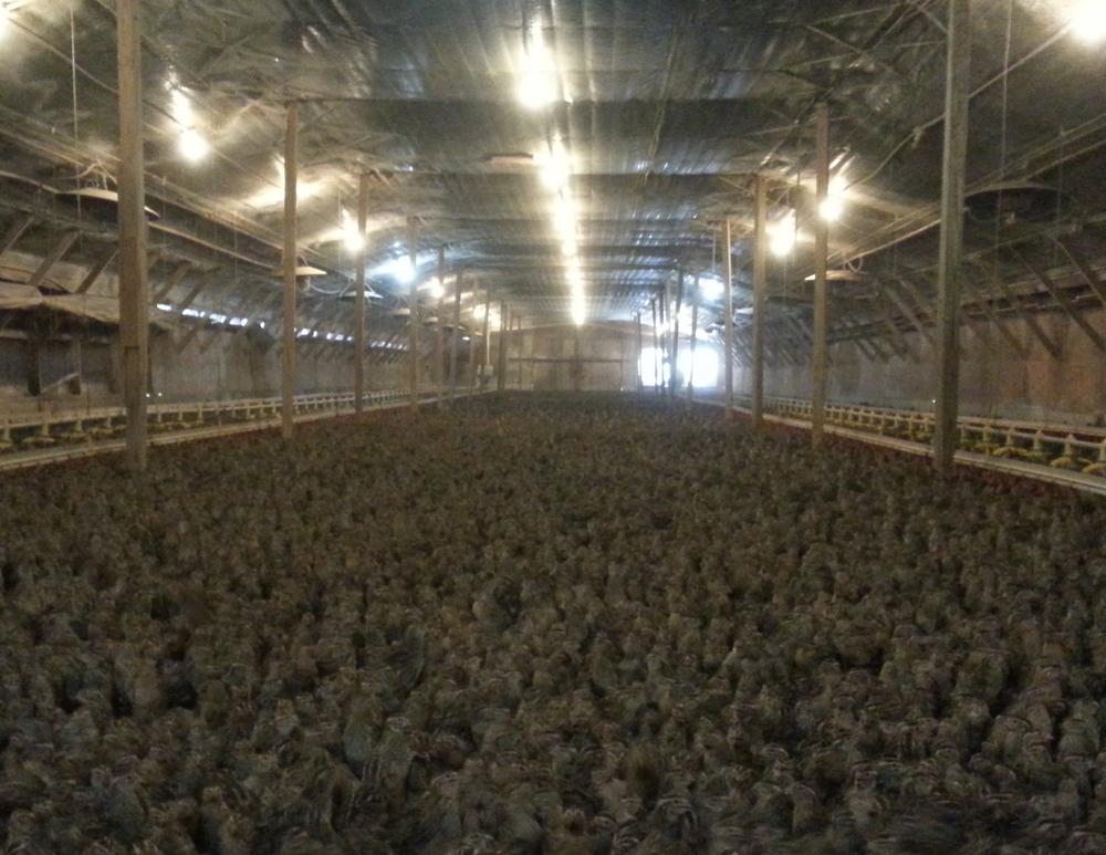 A Plantation Quail barn of 50,000 birds in Greene County, Ga.